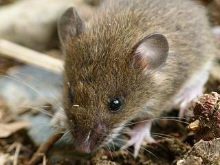 ヒメネズミの画像 p1_26