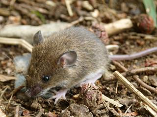 ヒメネズミの画像 p1_31